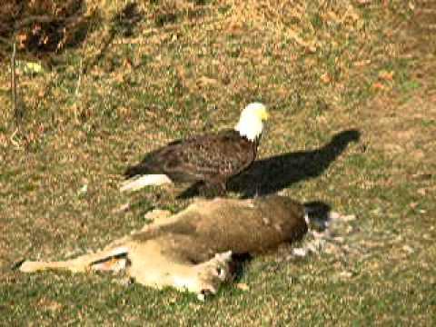 Bald Eagle Eating Deer Download Bald Eagle Eating