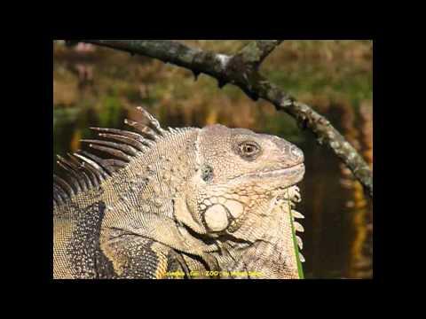 2012 Colombia   Cali, ZOOlogico, Iguane, Dans Un Des Plus Beaux ZOO d' Amérique