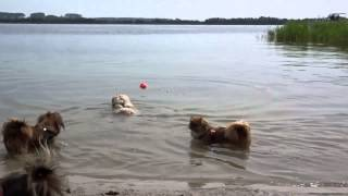 Lhasa Apso / Maltese Dog Swimming For The First Time