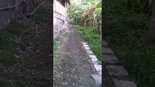 Melatih burung Kuntul / blekok ( free fly lamongan )