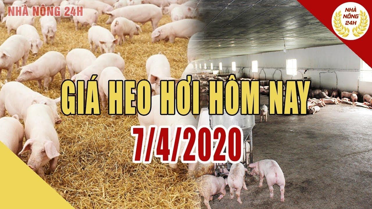 Giá heo hơi ngày hôm nay 7/4/2020 | Giá lợn hơi tiếp đà giảm nhẹ | Tin tức 24h nhà nông
