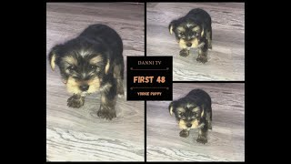 FIRST 48 HOURS W/ A NEW YORKIE PUPPY!! GOOD BAD & UGLY!!   DANNI TV