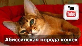 Кошка абиссинской породы(Кошки абиссинской породы впервые появились на кошачьих выставках в 80-х годах 19-го столетия в Великобритани..., 2015-06-13T15:27:59.000Z)