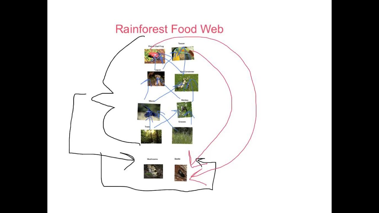 Rainforest Food Web/Chain - YouTube