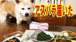 grandchild and German Shepherd dog JAPANESEAKITA 新鮮な北海道のアス...