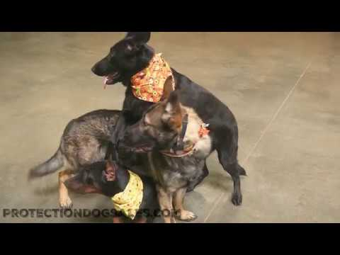Holiday Fun With 3 Young Dogs Tricks & Stuff From Protection Dog Sales