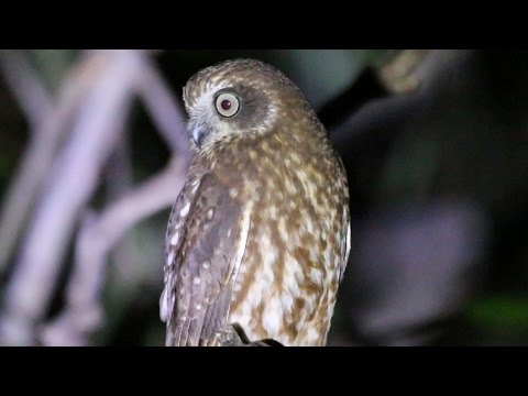 Southern Boobook - cutest owl in the world?