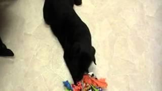 Black English Labrador Retriever