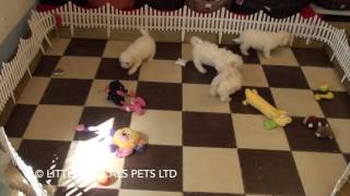 Little Rascals Uk Breeders New Litter Of Poochons - Puppies For Sale UK