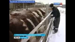 Вести-Хабаровск. Мясо под запретом?(, 2014-01-31T01:44:19.000Z)