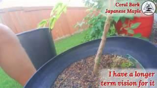 Coral Bark Japanese Maple (pre-bonsai)    *Update 9-5-2018*