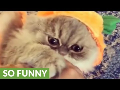 Persian cat models pumpkin Halloween costume