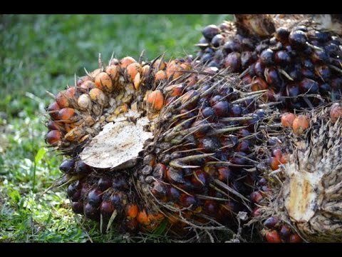 Learn About Palm Oil Plantations in Sumatra