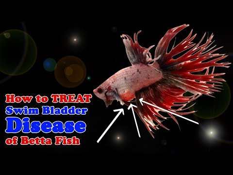 How To Treat Swim Bladder Disease | Betta Fighting Fish