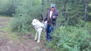 Волкодав в лесу