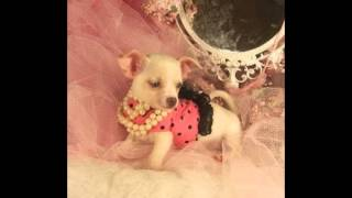 Teacup Chihuahua Puppies For Sale 2014