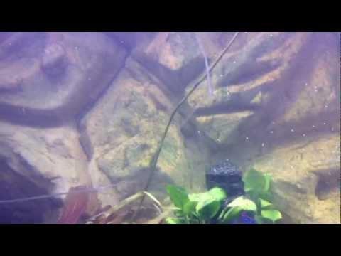 oscar and jagur in new tank