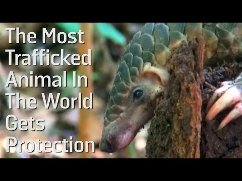 The Most Trafficked Animal In The World Gets Protection