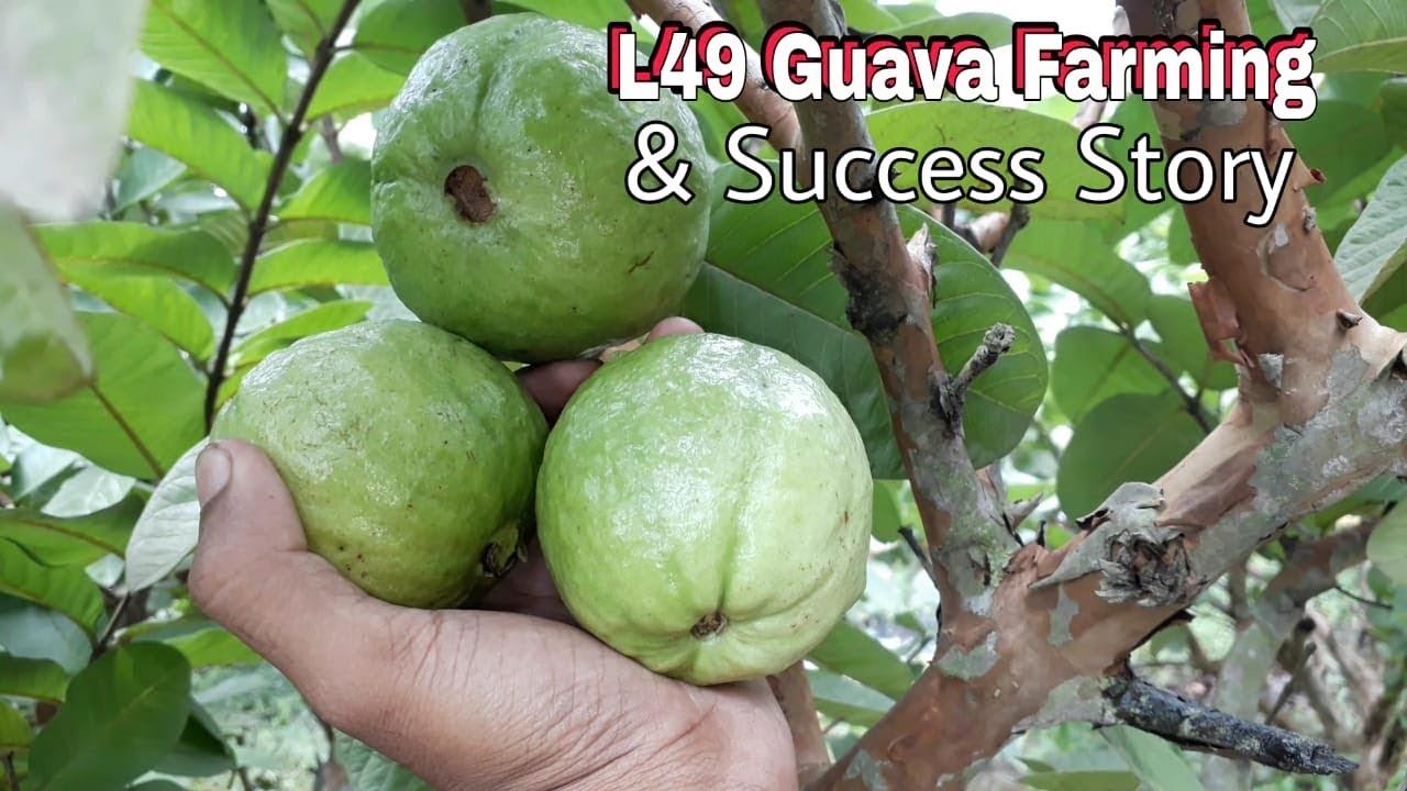 Guava Tree : L49 Guava Tree Plantation In Kolkata