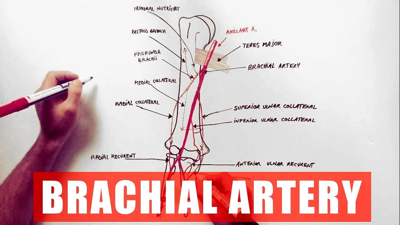 Brachial Artery And Its Branches Anatomy Tutorial Youtube