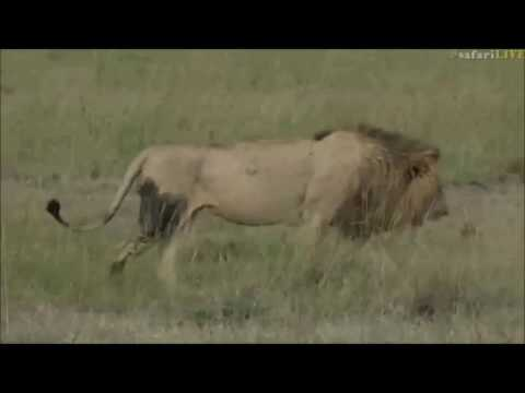 Safari Live : Brent in the Masai Mara this afternoon on drive June 01, 2017