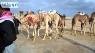 بالفيديو: القبائل السيناوية تتنافس فى السباق التنشيطى للهجن العربية بالعريش