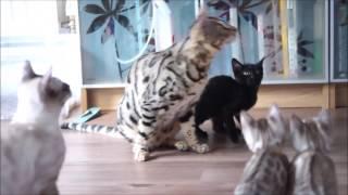 AsuraCats Kittens at 11 weeks