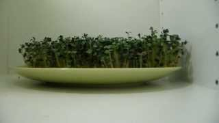 Mustard seed´s growing in TIME LAPSE - 5 days in 1 minute