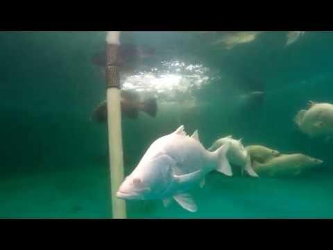 Swimming With Super Rare Albino Barramundi - Aquaculture
