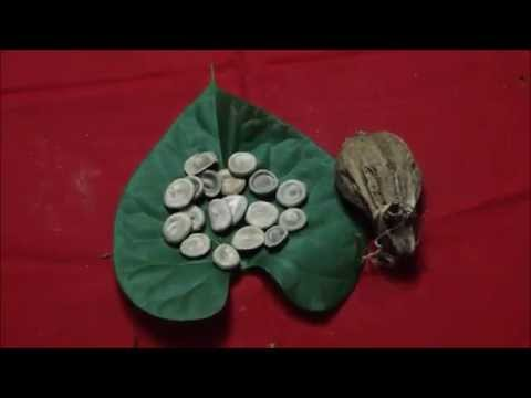 Tribal Medicines of Gandhamardan Hills for Spinal Arteriovenous Malformations: Film by Pankaj Oudhia