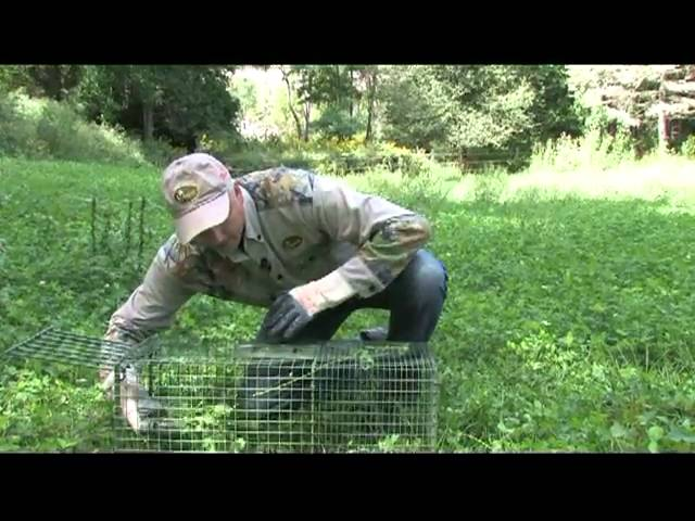 Trapping Woodchucks Using  Kishel's Woodchuck  lure