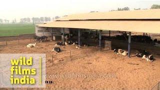 Adayana Dairy Farm, Punjab
