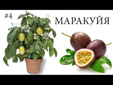 Пассифлора съедобная (маракуйя): выращивание, уход