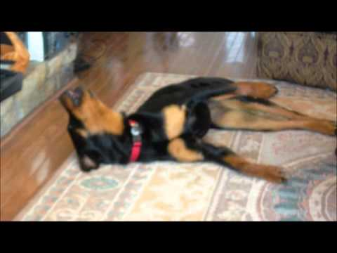 My Rottweiler Dog singing Happy Song by Pharrell every time it comes on.