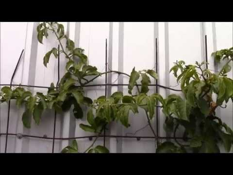 Growing Tropical Fruit Trees in a Cold Climate