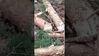 """На вырубку сосен в районе """"Чайки"""" жалуется бердчанка"""