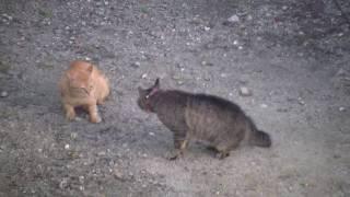 近所の猫の喧嘩。 茶トラの方は顔見知りの猫。