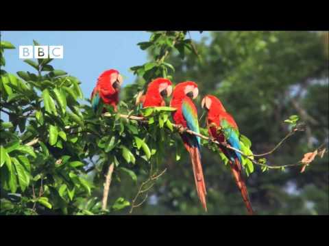 Попугаи Ара