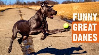 Funny Great Danes Moments