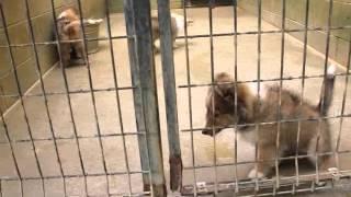 関西シェットランドシープドッグ(シェルティ)子犬販売ページ http://w...