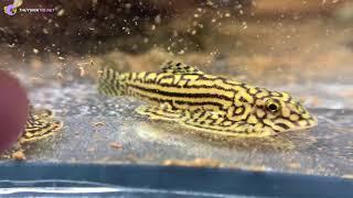 Cách phân biệt các loại cá cảnh hiền hay dữ, tập tính ăn uống cực dễ bằng 1 chi tiết nhỏ