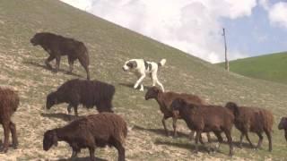 Таджикский саги дахмарда встречает соперника.