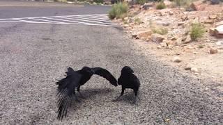 Baby Bird Eating. Ravens. Bird Fighting. Awesome.