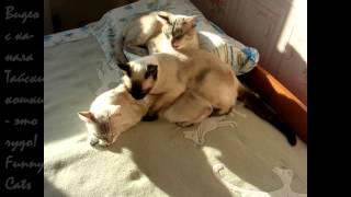 Молодой котик - галантный кавалер! Улётное видео! Тайские кошки - это чудо! Funny Cats