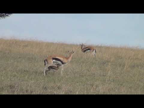 First hour of life for a Thomson's gazelle fawn