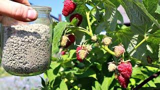 10 секретов по малине после которых заваливает ягодой с ног до головы Уход за малиной на огороде
