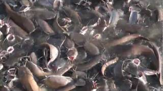 fish fight over food