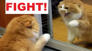 Angry Cat Fight with Himself in a Mirror