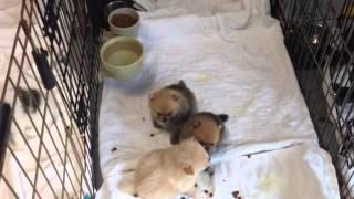 For Sale: Ckc Pomeranian Pups (july 2015 Litter)