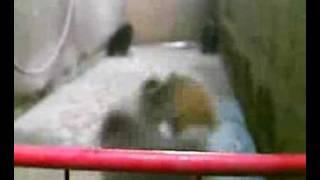 75% Pomeranian 25% Japanese Spitz